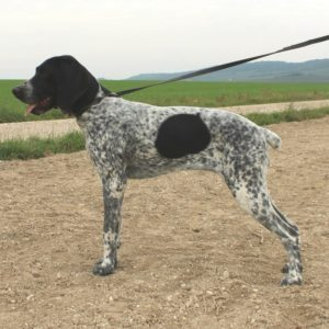Braque d'Auvergne |LOF |Chasse |Elevage canin |champs