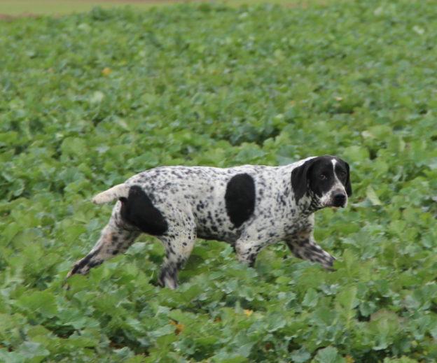 Braque d'Auvergne  LOF  Chasse  Elevage canin  Reproducteur