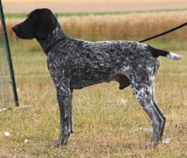Braque d'Auvergne |LOF |Chasse |Elevage canin |Reproducteur